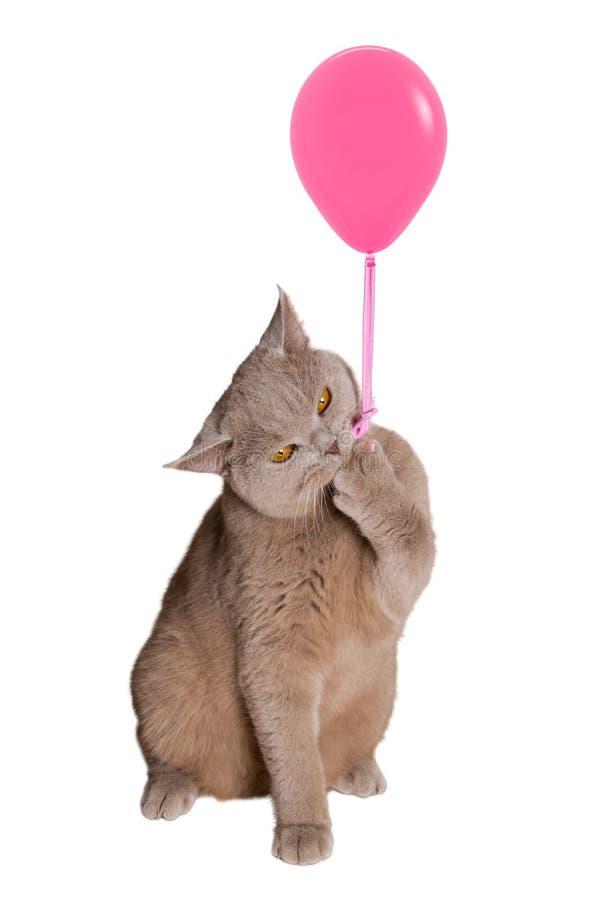 Il gatto britannico che si siede sulle gambe posteriori che tengono un pallone rosa, una corda agganciata dell'artiglio e tiene fotografie stock