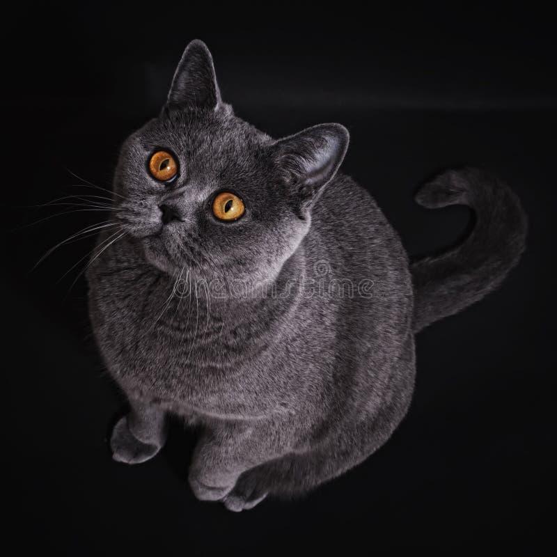 Il gatto britannico grigio si siede su priorità bassa nera fotografia stock libera da diritti