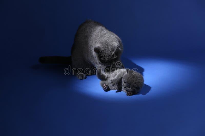 Il gatto che gioca con i gattini, blu della madre di Britannici Shorthair ha isolato il ritratto fotografie stock
