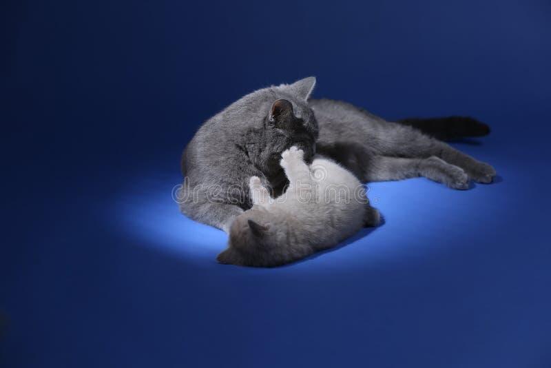 Il gatto che gioca con i gattini, blu della madre di Britannici Shorthair ha isolato il ritratto immagine stock libera da diritti