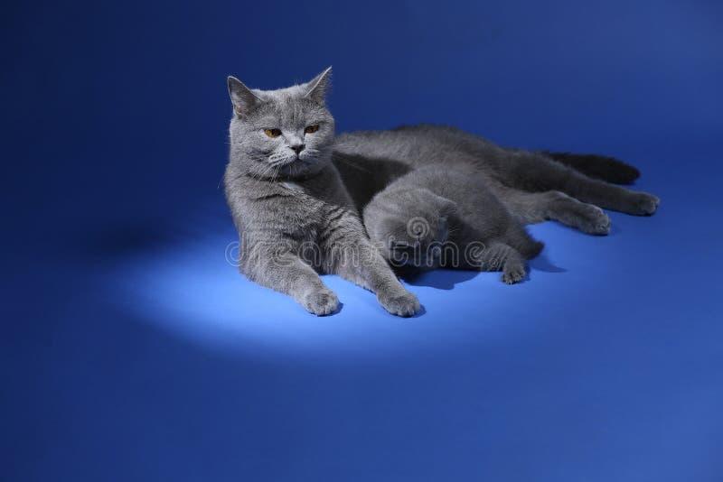 Il gatto che gioca con i gattini, blu della madre di Britannici Shorthair ha isolato il ritratto fotografie stock libere da diritti