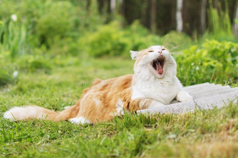 Il gatto dai capelli rossi con un petto bianco sbadiglia trovandosi sull'erba verde immagini stock