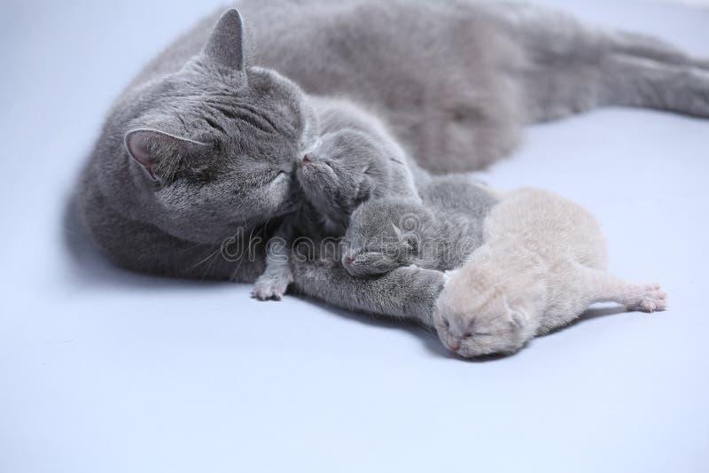 Il gatto della madre prende la cura dei suoi gattini fotografia stock libera da diritti