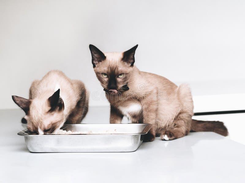Il gatto della pelliccia di Brown, le orecchie nere, ritratto di un gatto domestico minimo che esamina la ciotola dell'alimento,  fotografia stock