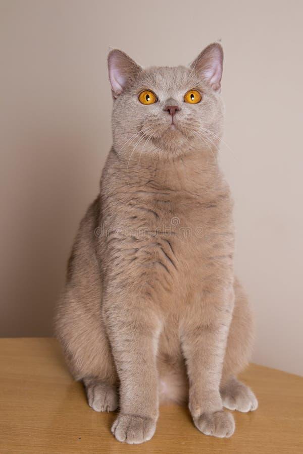 Il gatto di Britannici Shorthair si siede in pieno l'altezza, fronteggia le gambe diritto, cerca, sopra la macchina fotografica immagini stock libere da diritti