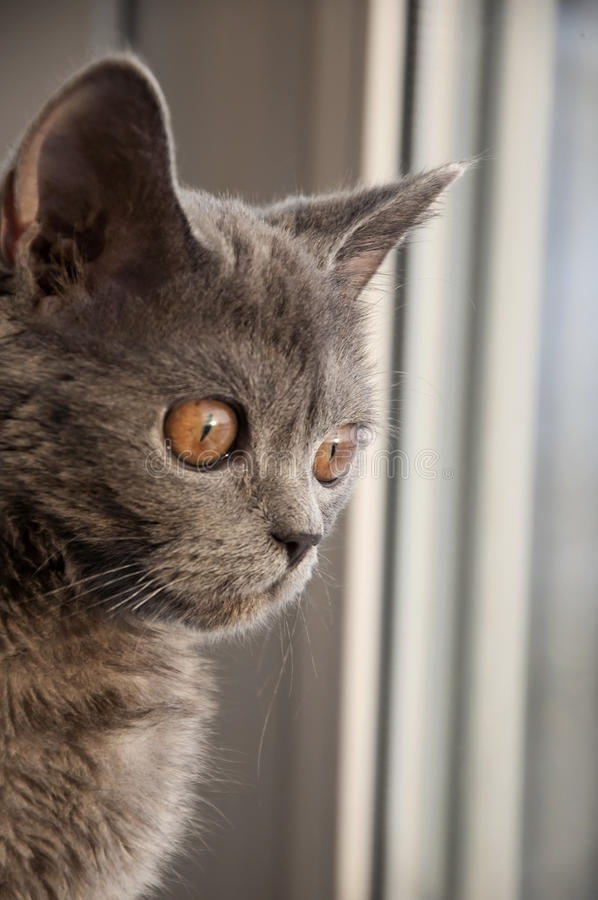 Il gatto di Britannici Shorthair sta guardando nella finestra Ciao, voi là! immagine stock libera da diritti