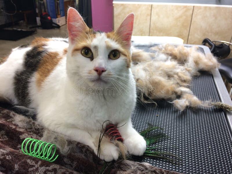 Il gatto di calicò ha governato governare spargendo i giocattoli pelosi del gatto della pelliccia dei hairballs fotografia stock