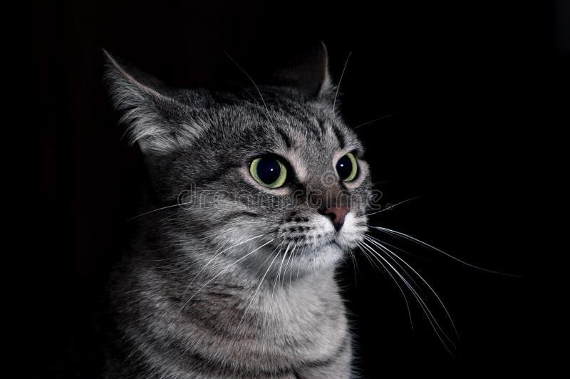Il gatto di soriano fotografie stock