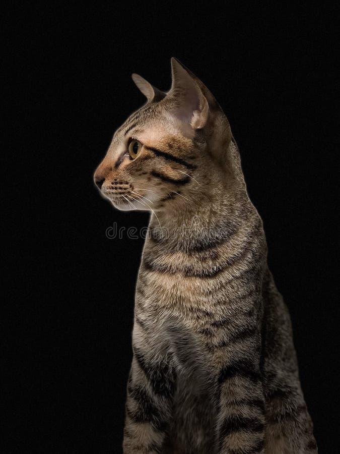 Il gatto di soriano marrone isolato su fondo nero immagini stock libere da diritti