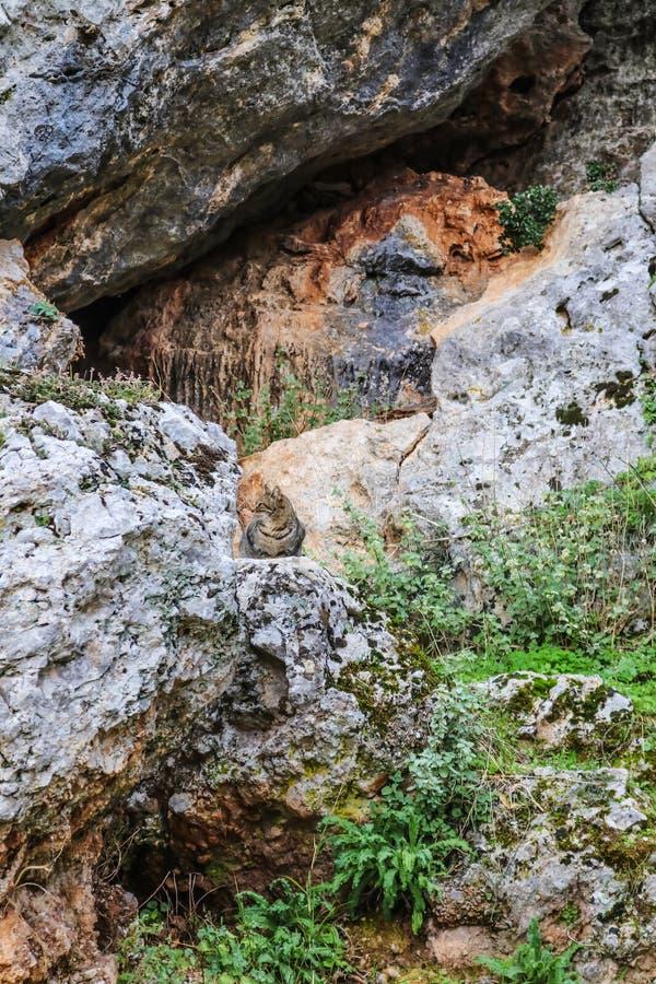 Il gatto di soriano si siede su una roccia davanti all'per franare una scogliera vicino alle rovine di Delfi nelle montagne della fotografie stock
