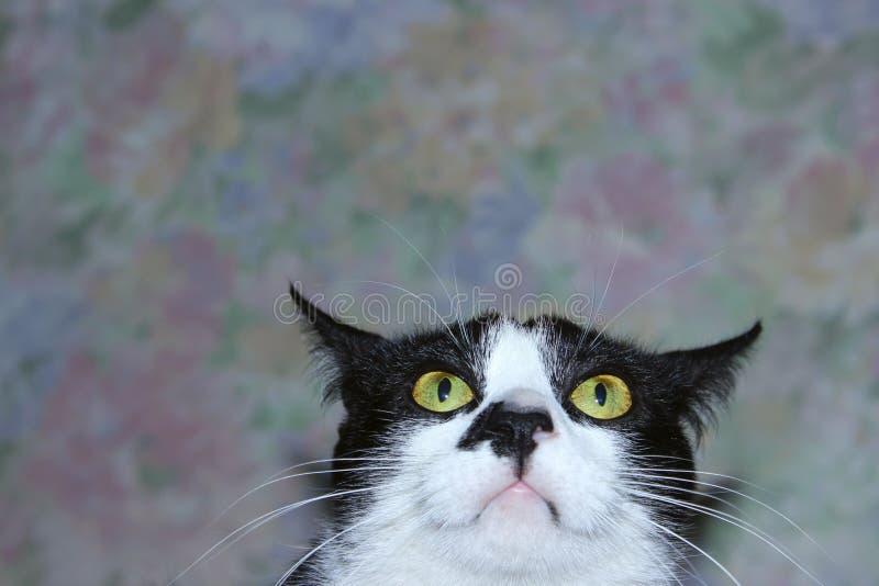Il gatto divertente, si chiude su Animali, concetto degli animali domestici fotografia stock libera da diritti