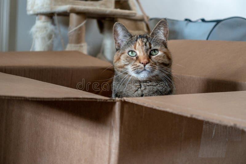 Il gatto domestico allegro della carapace posa in una scatola di cartone marrone fotografia stock