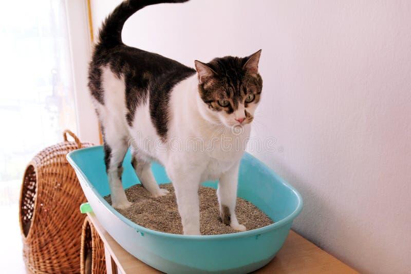 Il gatto facendo uso della toilette, il gatto in cestino per i rifiuti, dato che pooping o urinano, pooping nella toilette pulita immagine stock