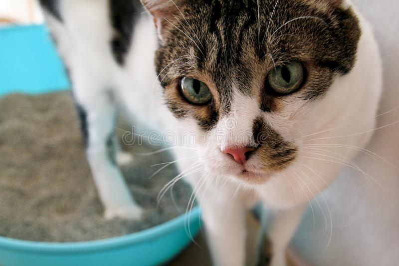 Il gatto facendo uso della toilette, il gatto in cestino per i rifiuti, dato che pooping o urinano, pooping nella toilette pulita immagini stock libere da diritti