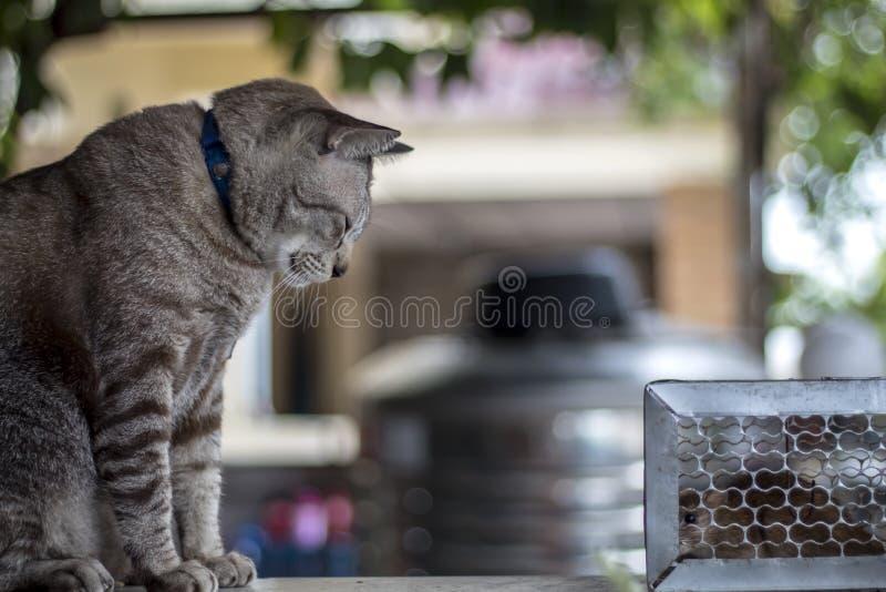 Il gatto fissava il ratto intrappolato nella gabbia della trappola immagini stock libere da diritti