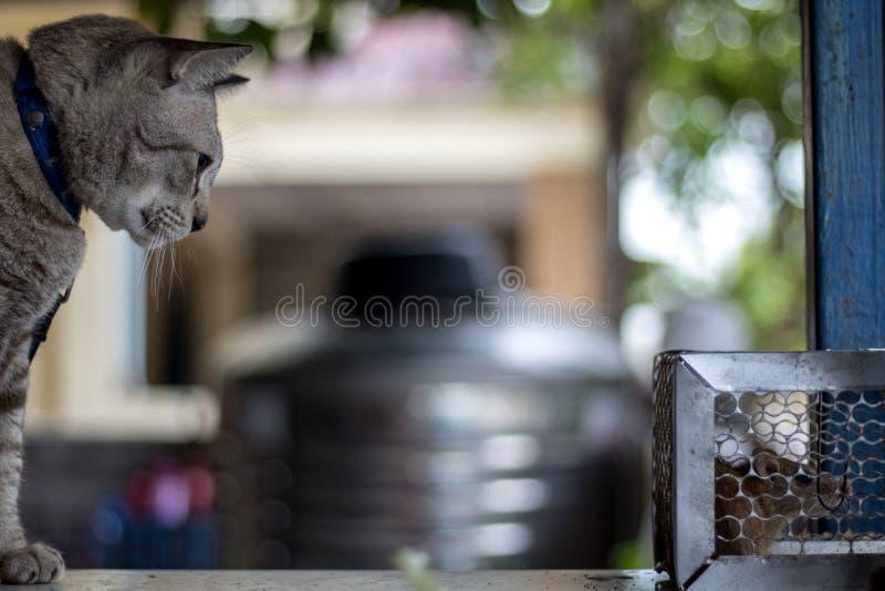 Il gatto fissava il ratto intrappolato nella gabbia della trappola fotografia stock