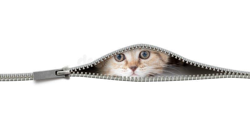 Il gatto in foro aperto della chiusura lampo ha isolato immagini stock libere da diritti