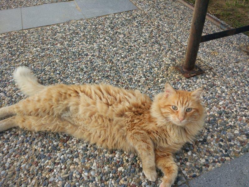 Il gatto giallo al sentiero per pedoni fotografie stock