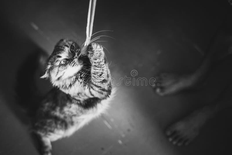 Il gatto gioca con una corda, foto in bianco e nero fotografia stock