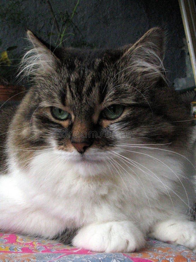 Il gatto gode del balcone fotografia stock
