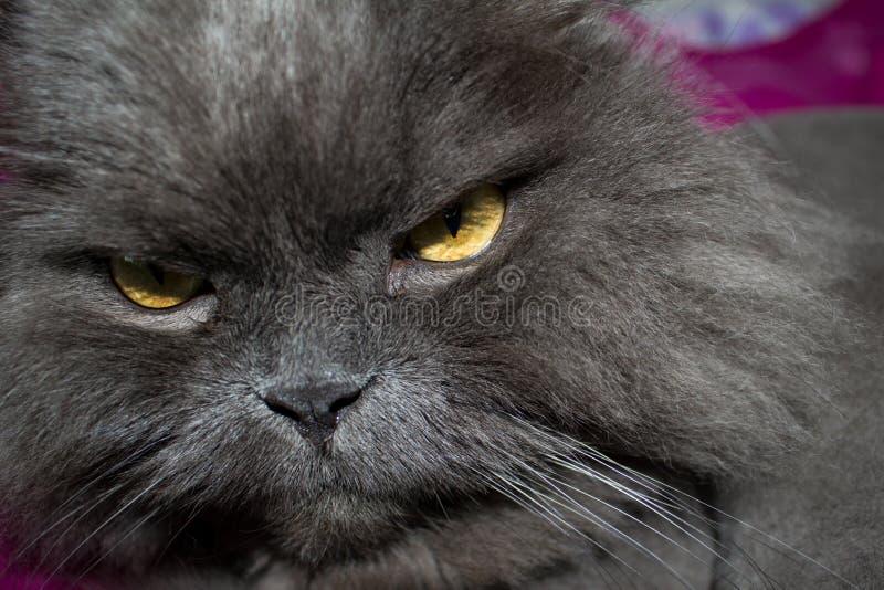 Il gatto grigio dolce con gli occhi gialli sta rilassandosi a casa immagini stock