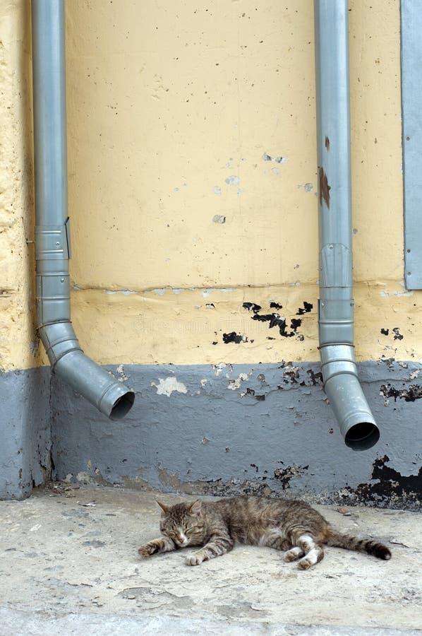Il gatto grigio dorme contro la parete. immagini stock