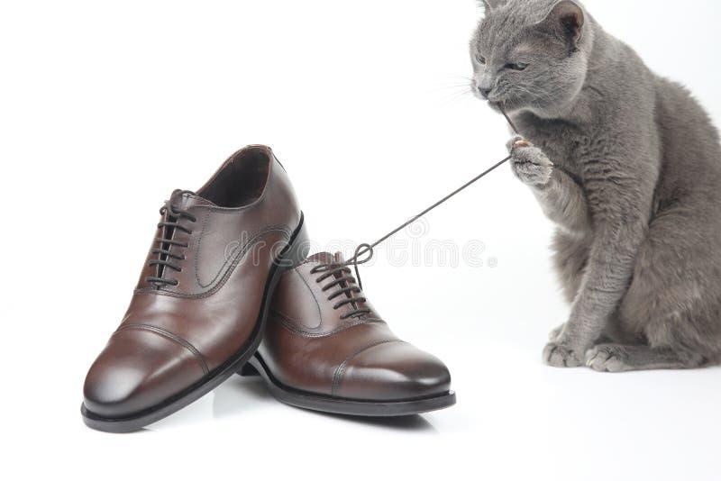 Il gatto grigio gioca con una scarpa di marrone del ` s degli uomini del pizzo del classico sul BAC bianco immagine stock libera da diritti