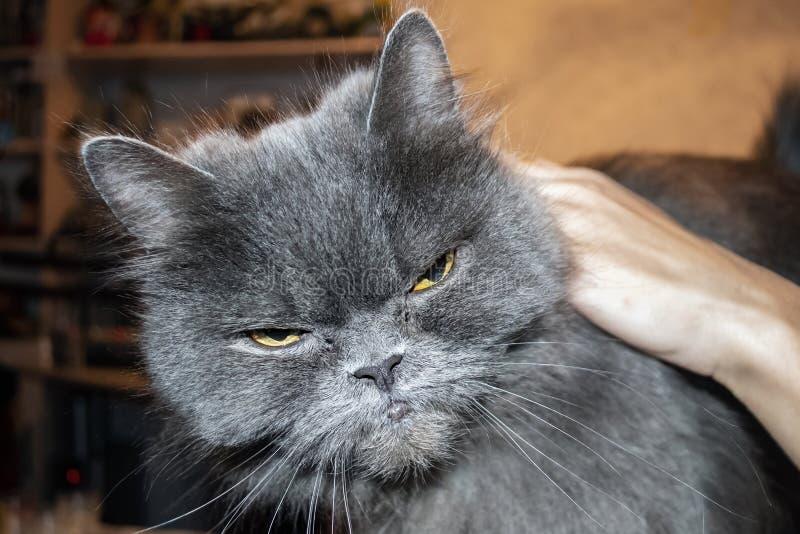 Il gatto grigio molto arrabbiato, si chiude sul ritratto fotografia stock