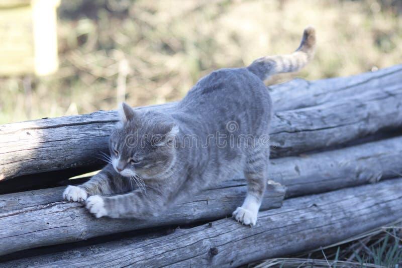 Il gatto grigio pulisce i chiodi immagini stock