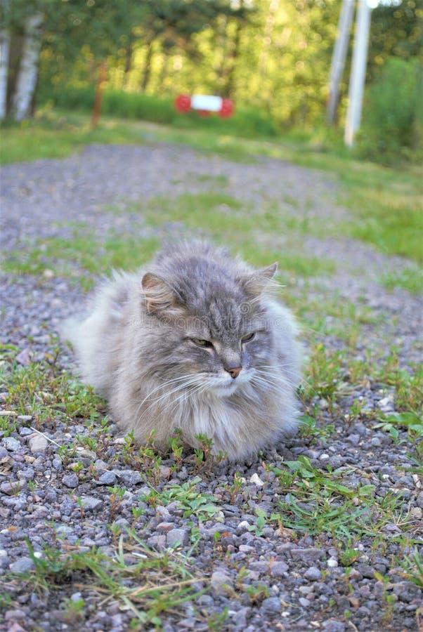 Il gatto grigio si trova su una strada campestre fotografia stock libera da diritti