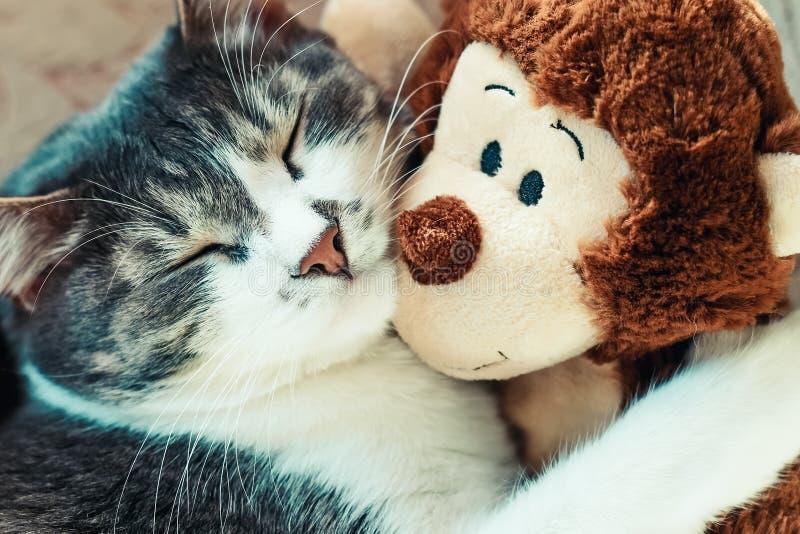 Il gatto grigio sta dormendo abbracciando un giocattolo molle Primo piano di un animale domestico in un sogno fotografie stock