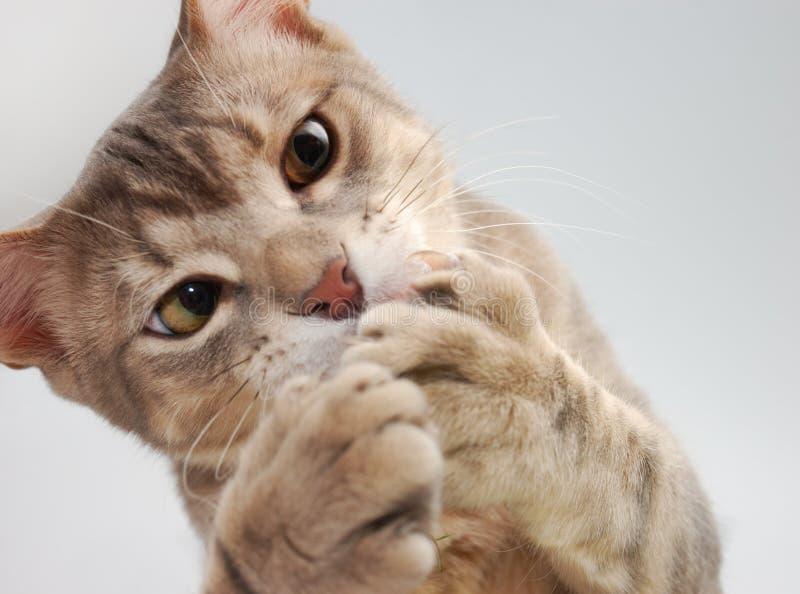 Il gatto ha catturato la sua vittima immagine stock libera da diritti