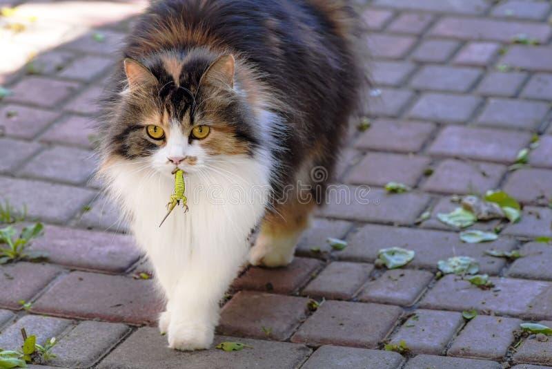 Il gatto ha preso una lucertola Il mondo dei gatti Un gattino e una lucertola Il gattino è un predatore Il cacciatore, cacciatore fotografia stock