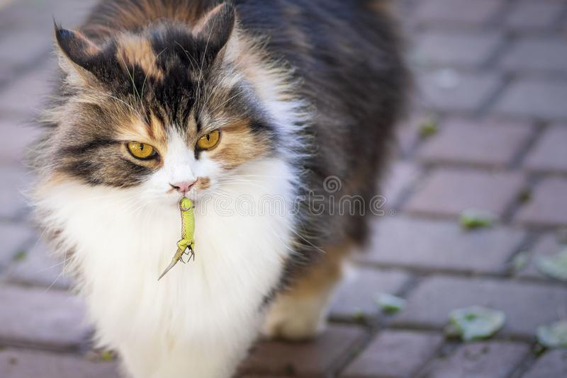 Il gatto ha preso una lucertola Il mondo dei gatti Un gattino e una lucertola Il gattino è un predatore Il cacciatore, cacciatore immagini stock