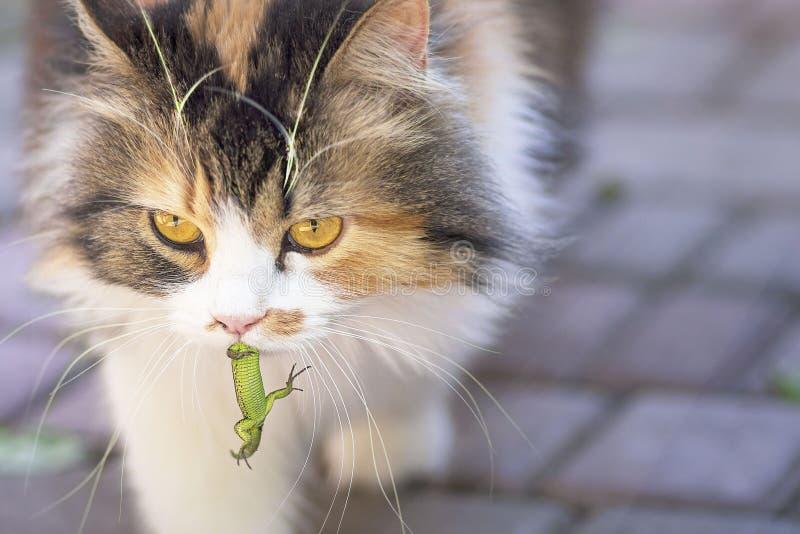 Il gatto ha preso una lucertola Il mondo dei gatti Un gattino e una lucertola Il gattino è un predatore Il cacciatore, cacciatore fotografia stock libera da diritti
