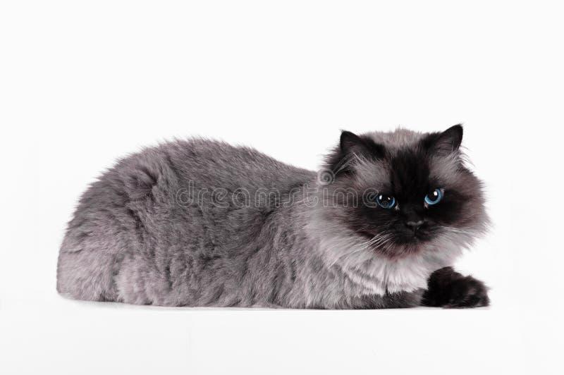Il gatto himalayano con l'acconciatura si siede in studio isolato mezzo giro fotografia stock libera da diritti