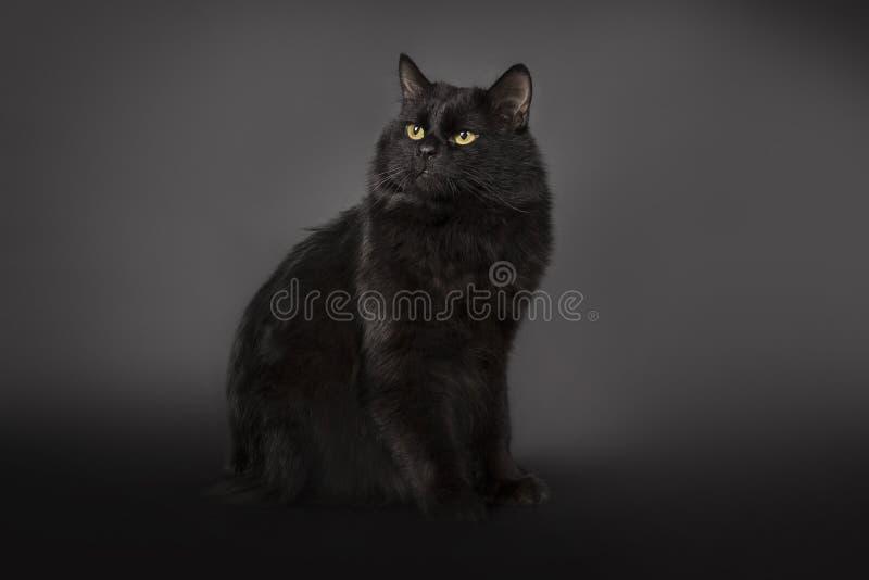 Il gatto nero è isolato un fondo nero fotografia stock