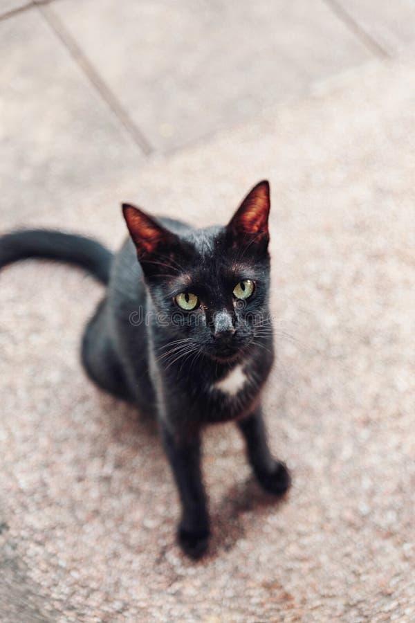 Il gatto nero che cerca l'alimento con la supplica osserva in Malesia immagine stock libera da diritti