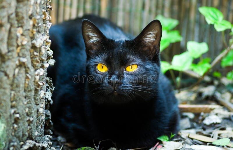 Il gatto nero con giallo osserva nascondersi dietro l'albero nel giardino immagine stock libera da diritti