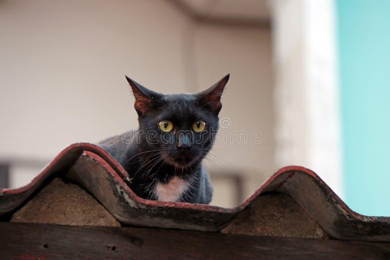 Il gatto nero con giallo osserva sul tetto il gatto è un piccolo mammifero carnivoro domestico con pelliccia molle fotografie stock