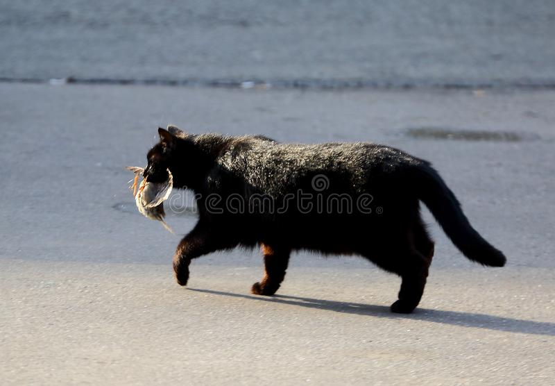 Il gatto nero con un passero ha preso nei denti immagini stock