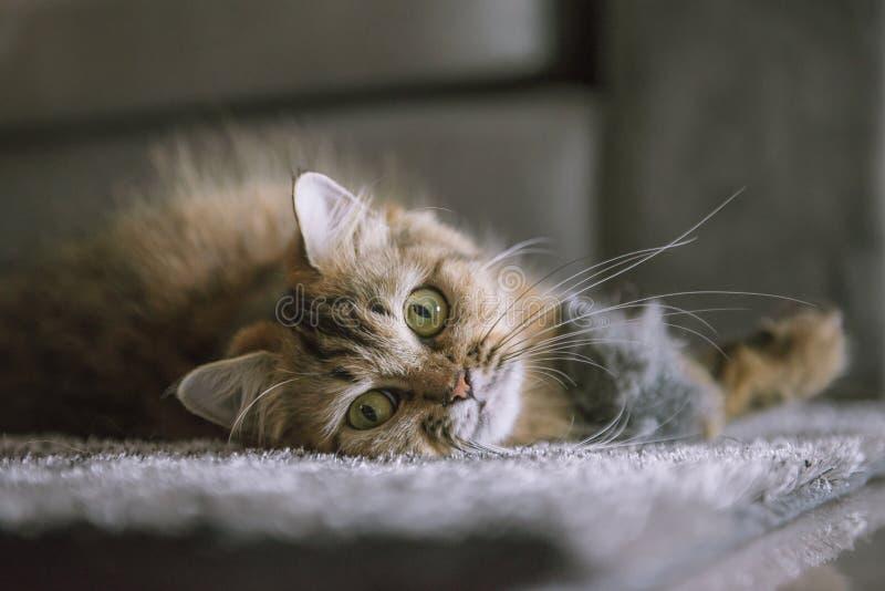 Il gatto persiano della tigre sveglia dorme sulla coperta della pelliccia fotografia stock libera da diritti