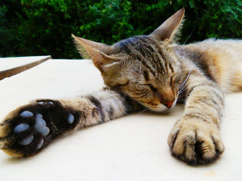 Il gatto pigro sta dormendo sulla tavola fotografie stock