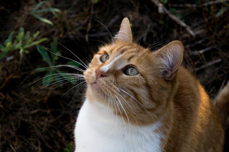 Il gatto rosso elegante sta sedendosi sulla terra e sta esaminando il cielo che pensa a qualcosa immagini stock