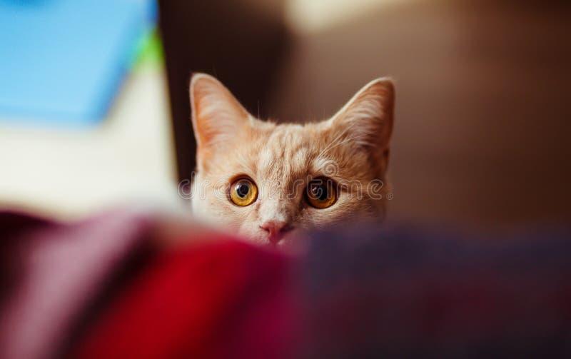 Il gatto rosso sveglio si siede sullo strato fotografia stock