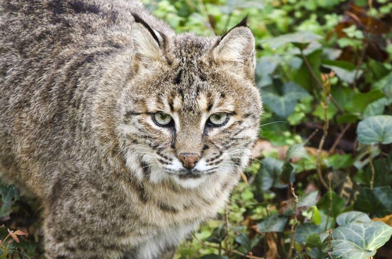 Il gatto selvatico prigioniero, sopporta lo zoo vuoto, Atene la Georgia U.S.A. immagine stock libera da diritti
