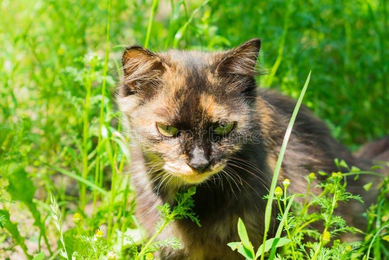 Il gatto selvatico si siede la caccia nell'erba verde fotografia stock