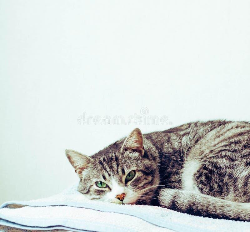 Il gatto si è accartocciato nei guanti su un plaid immagini stock