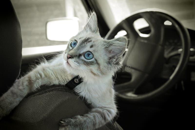 Il gatto si siede nell'automobile immagine stock libera da diritti