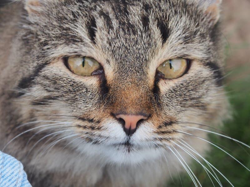 Il gatto si trova nell'erba Gatto visibile della museruola con lei occhi fotografia stock libera da diritti